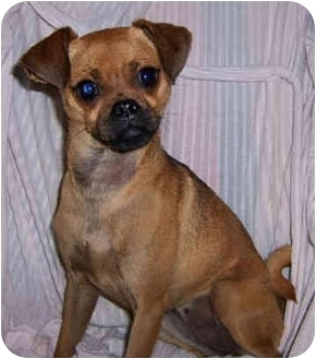 Shorthair Chihuahua And Yorkie Mix | Dog Breeds Picture