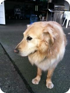 Golden Retriever Mix Dog for adoption in Bellingham, Washington - Tiger