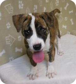 Pit Bull Terrier Mix Puppy for adoption in Gary, Indiana - Ray