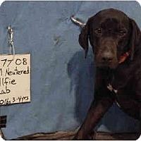 Adopt A Pet :: Alfie/Pending - Zanesville, OH