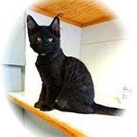 Adopt A Pet :: Kyle - Shelton, WA