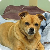 Chihuahua Mix Dog for adoption in House Springs, Missouri - Casey
