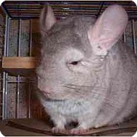 Adopt A Pet :: Chester - Avondale, LA