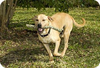 Labrador Retriever Mix Dog for adoption in Alvin, Texas - Precious Abbott-S--Loves to fetch