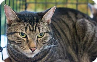 Domestic Shorthair Cat for adoption in New York, New York - Chong