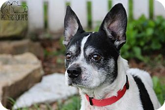 Boston Terrier/Jack Russell Terrier Mix Dog for adoption in Troy, Illinois - Mannie