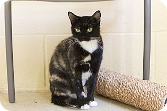Domestic Shorthair Cat for adoption in Chula Vista, California - Miley