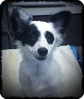 Papillon Mix Puppy for adoption in Los Alamitos, California - Pirate