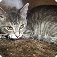 Domestic Shorthair Kitten for adoption in Stafford, Virginia - Julia