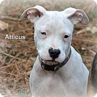 American Staffordshire Terrier Mix Puppy for adoption in Glastonbury, Connecticut - Atticus~ meet me!
