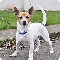 Jack Russell Terrier Dog for adoption in Woodburn, Oregon - Rocky