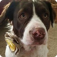 Pit Bull Terrier/English Springer Spaniel Mix Dog for adoption in Fort Wayne, Indiana - Bella