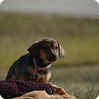 Adopt A Pet :: Stevie - Houston, TX