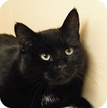 Domestic Shorthair Cat for adoption in Medford, Massachusetts - Honey Boo