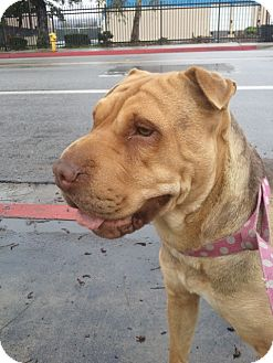 Shar Pei Dog for adoption in Mira Loma, California - Nicole