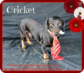 Dachshund Dog for adoption in Plano, Texas - Cricket