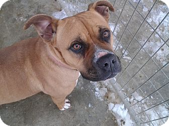 Boxer/Pit Bull Terrier Mix Dog for adoption in Greenfield, Indiana - Priya