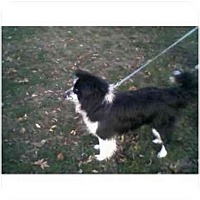 Border Collie Dog for adoption in Versailles, Ohio - Harley