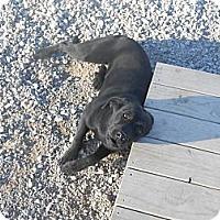 Adopt A Pet :: Louise - Batesville, AR
