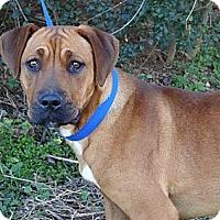 Adopt A Pet :: *Ginger - PENDING - Westport, CT