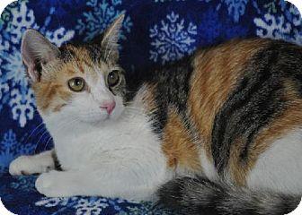 Domestic Shorthair Cat for adoption in Mesa, Arizona - Mulan