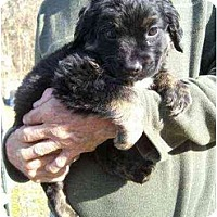 Adopt A Pet :: Zima - Lincolndale, NY
