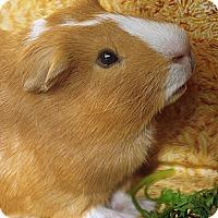 Adopt A Pet :: Bear - Santa Barbara, CA