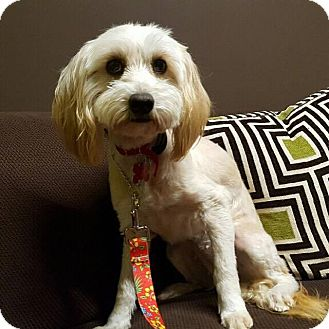 Maltese/Poodle (Miniature) Mix Dog for adoption in Van Nuys, California - Farrah