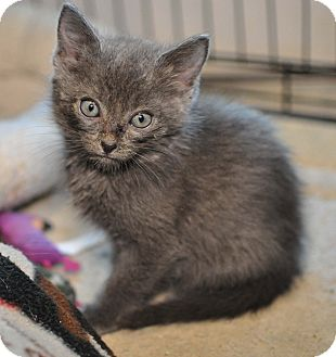 American Shorthair Kitten for adoption in Tanner, Alabama - Sam