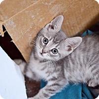 American Shorthair Cat for adoption in Santa Monica, California - Oliver Wood