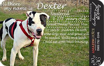 American Bulldog/Affenpinscher Mix Dog for adoption in Saginaw, Michigan - Dexter (3)