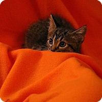 Domestic Shorthair Kitten for adoption in Mackinaw, Illinois - Alex
