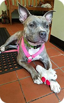American Staffordshire Terrier Mix Dog for adoption in Bronx, New York - Riley