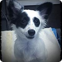 Adopt A Pet :: Pirate - Los Alamitos, CA