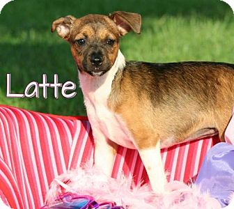 Chihuahua/Rat Terrier Mix Puppy for adoption in Marion, Kentucky - Latte *Adoption Pending*