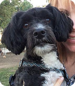 Lhasa Apso/Spaniel (Unknown Type) Mix Dog for adoption in Studio City, California - Stella