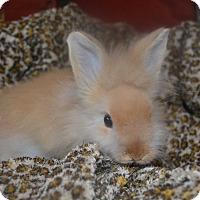 Jersey Wooly for adoption in Warwick, New York - Arnold - 1 lb.
