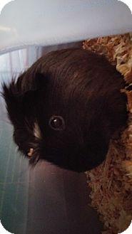 Guinea Pig for adoption in Aurora, Colorado - Dame Cook