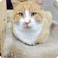 Domestic Shorthair Cat for adoption in Spokane, Washington - Atticus