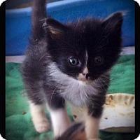 Domestic Mediumhair Kitten for adoption in Hartford City, Indiana - Colorado