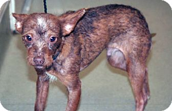 Terrier (Unknown Type, Small) Mix Puppy for adoption in Wildomar, California - Dooby