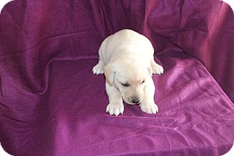 Labrador Retriever Mix Puppy for adoption in Huntsville, Alabama - Gabe