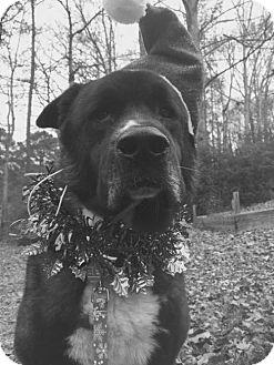 Akita Mix Dog for adoption in Powder Springs, Georgia - BRONSON