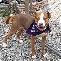 Adopt A Pet :: Huckleberry Finn - Greensboro, NC