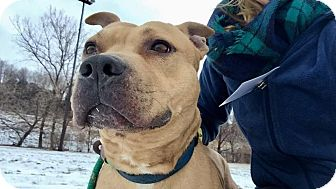 Terrier (Unknown Type, Medium)/Pit Bull Terrier Mix Dog for adoption in Cleveland, Ohio - Drumstick
