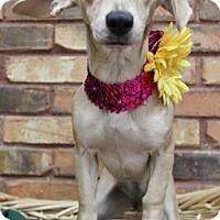 Adopt A Pet :: Crystal - Benbrook, TX