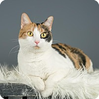 Domestic Shorthair Cat for adoption in Columbia, Illinois - Winnie