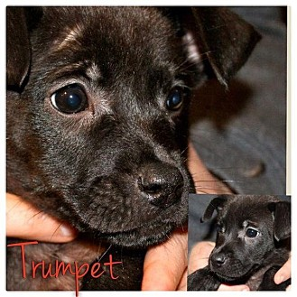 Dachshund/Beagle Mix Puppy for adoption in Garden City, Michigan - Trumpet
