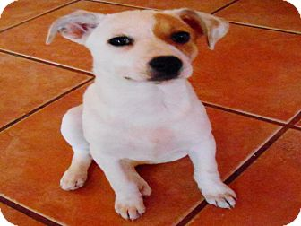 Border Collie Mix Puppy for adoption in San Diego, California - RACHEL