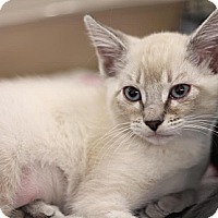 Adopt A Pet :: Vanilla - Sacramento, CA